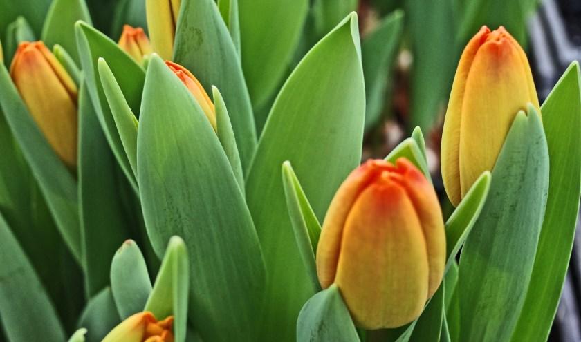 Tulpen worden verkocht door Lions Bronckhorst. Foto: PR