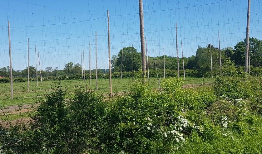 Het hopveld van Hogenelst Hop in Zieuwent. Foto: Kyra Broshuis