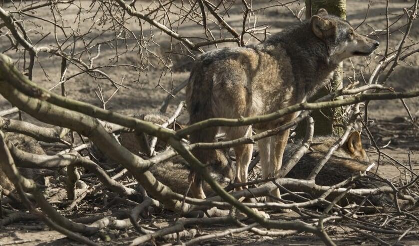 Thema-avond over de wolf. Foto: Hugh Jansman