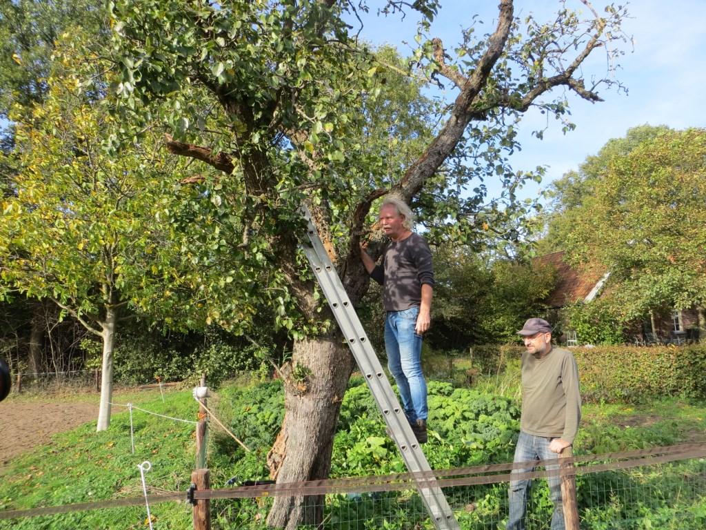 De uilenkast wordt geplaatst in een oude perenboom. Foto: Bernhard Harfsterkamp  © Achterhoek Nieuws b.v.