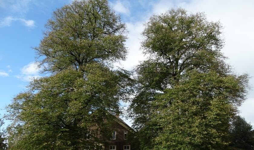 Deze twee Hollandse lindes zijn ook toegevoegd aan het Landelijk Register van Monumentale Bomen. De linkerboom is 24,5 meter hoog, de rechterboom 22 meter. De omtrek op 1.30 meter hoogte bedraagt respectievelijk 3.70 en 3.37 m. Deze lindes moeten ongeveer 130 jaar oud zijn. Foto: Gerlinde Bulten