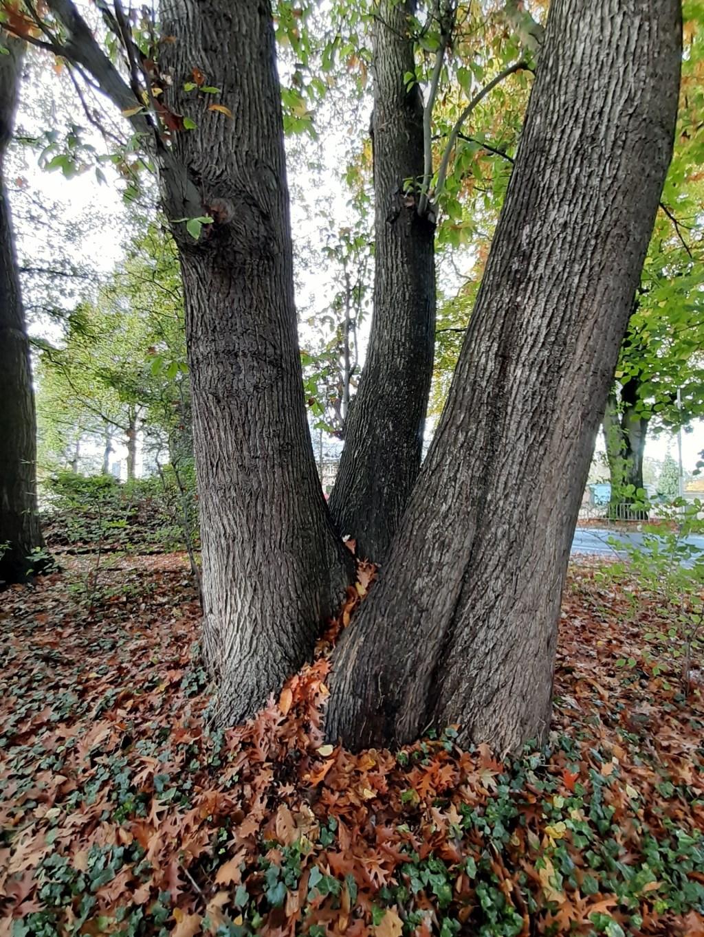 Deze driestammige tamme kastanje aan de Hummeloseweg in Zelhem met een hoogte van 27,5 meter en een totale omtrek van 7.27 meter (!) is eveneens toegevoegd aan de monumentale bomen in onze gemeente, evenals een zilverlinde in dezelfde tuin. Foto: Joost Bakker  © Achterhoek Nieuws b.v.