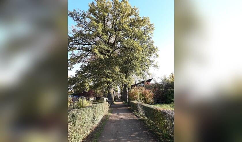 De monumentale bomen aan Het Hof in Lichtenvoorde met aan weerszijden de volkstuintjes. Foto: Frits van Lochem