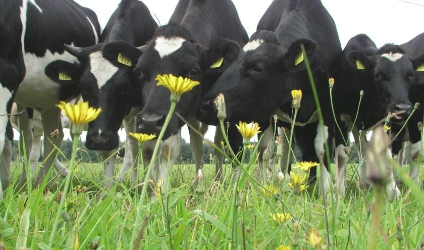 Koeien in kruidenrijk grasland. Foto: Rob Geerts.
