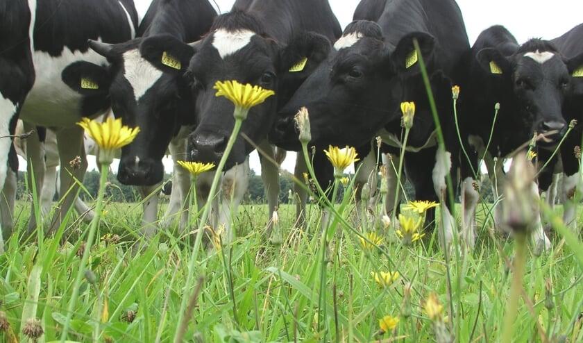 Koeien in kruidenrijk grasland. Foto Rob Geerts.