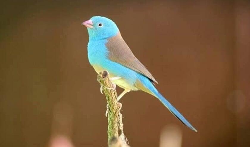 Het blauwkopblauwfazantje is een prachtvink die oorspronkelijk uit Oost-Afrika komt.