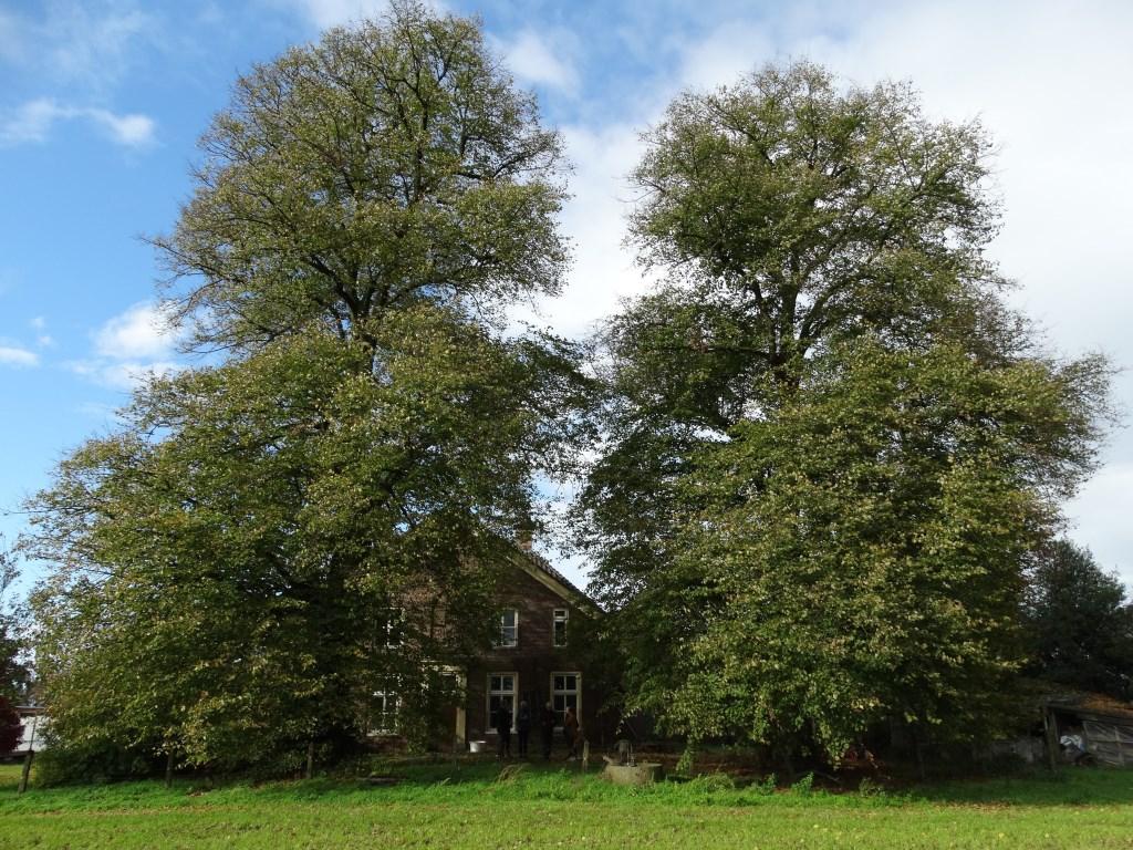 Deze twee Hollandse lindes zijn ook toegevoegd aan het Landelijk Register van Monumentale Bomen. Ze moeten ongeveer 130 jaar oud zijn. Foto: Gerlinde Bulten  © Achterhoek Nieuws b.v.