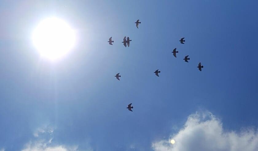 Duiven komen na een vlucht weer richting de hokken. Foto: Robert Borneman