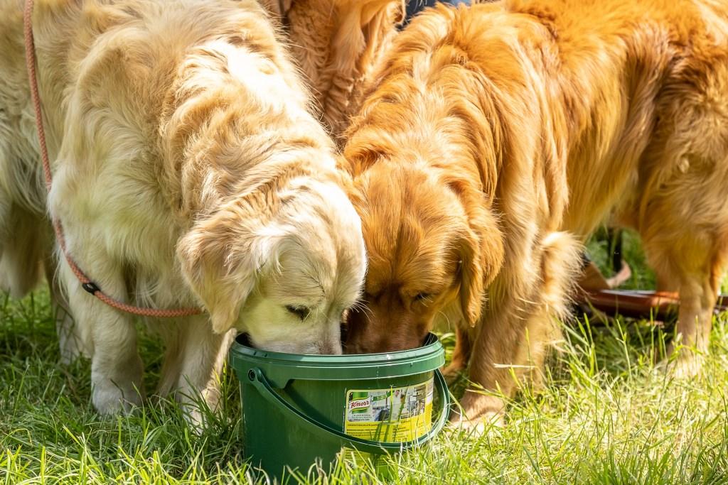 Golden retrievers lessen de dorst na hun proef onder hete omstandigheden. Foto: Burry van den Brink  © Achterhoek Nieuws b.v.