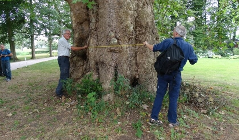 Joost Bakker (l.) en Jeroen Philippona (r) meten de stamomtrek van de op één na dikste plataan in Nederland. Foto: Gerlinde Bulten