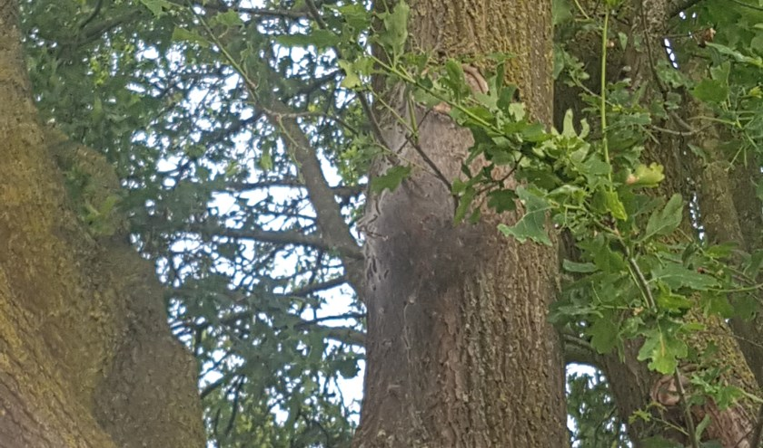 Ook in Oost Gelre zitten de eiken vol met nesten met eikenprocessierupsen.