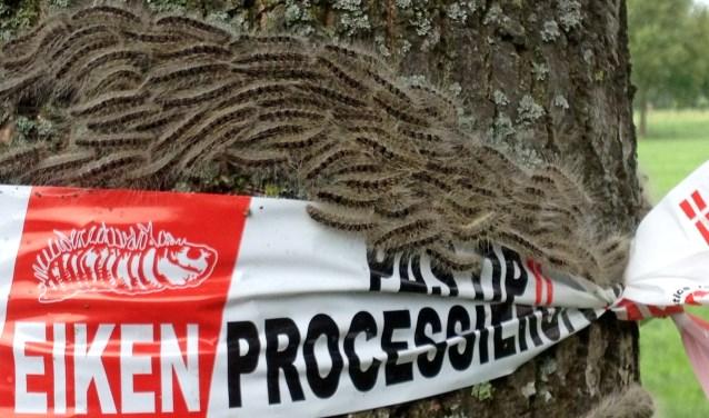 Het loopt uit de hand met de eikenprocessierups. Foto: Liesbeth Spaansen  © Achterhoek Nieuws b.v.
