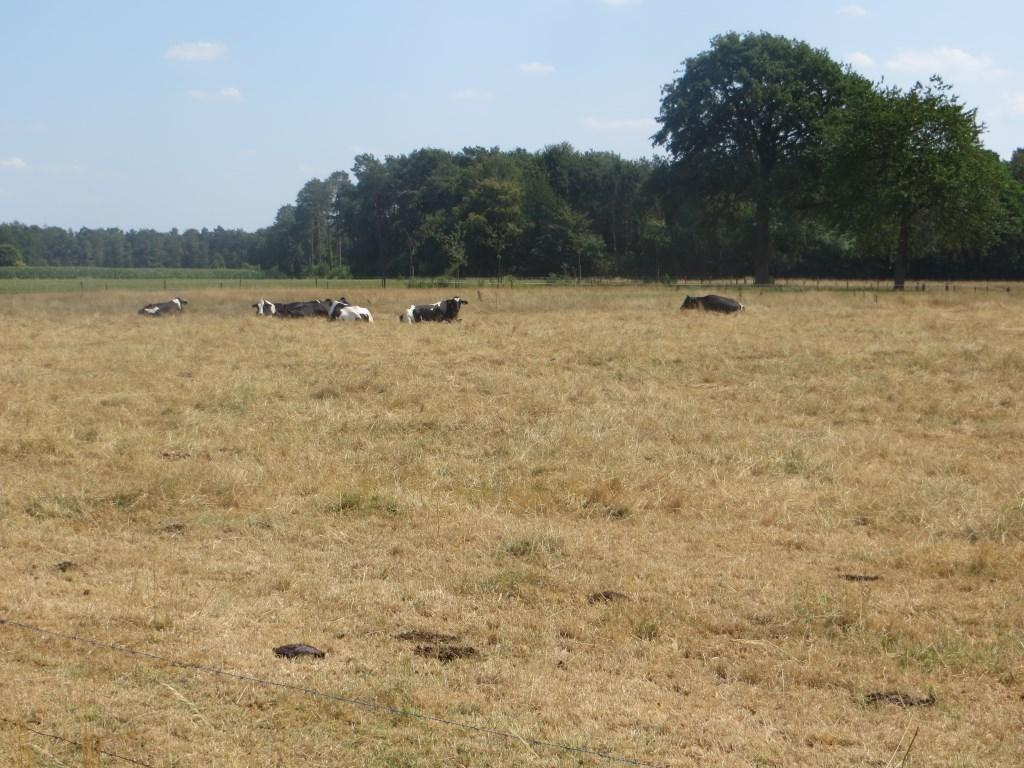 Verdroogd grasland in het Vosseveld. Foto: Bernhard Harfsterkamp  © Achterhoek Nieuws b.v.