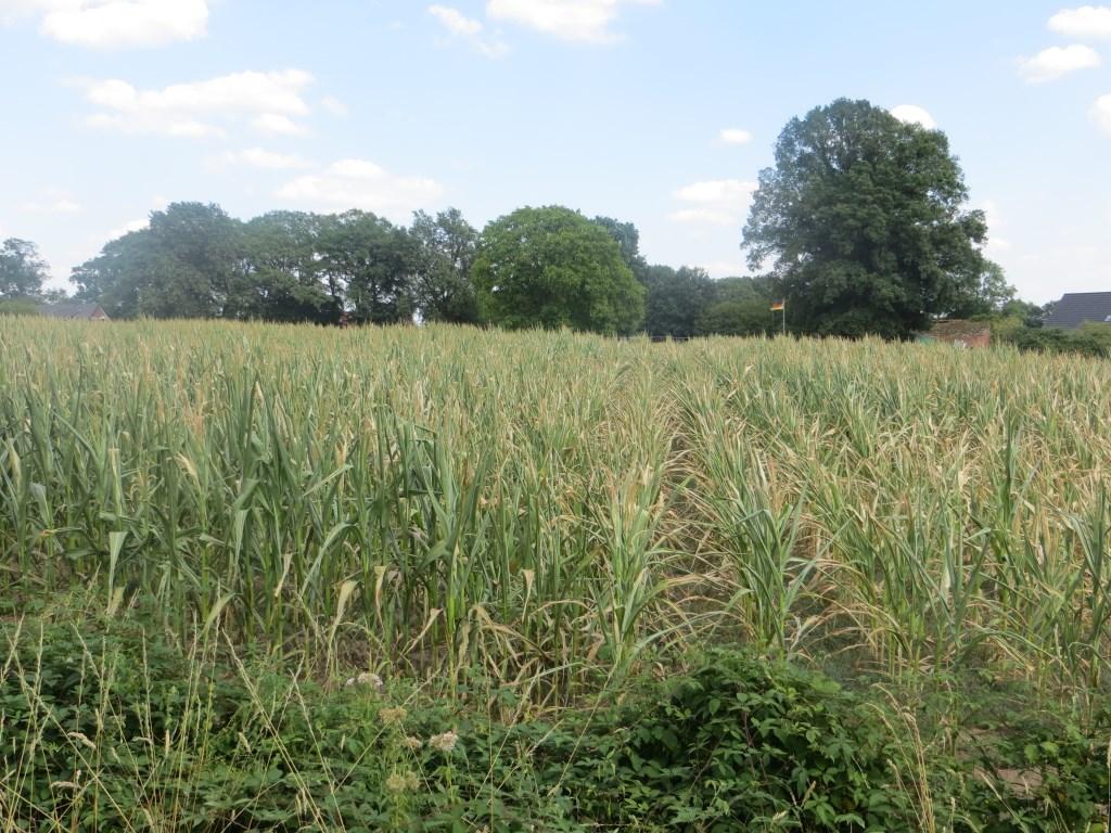 In maïsvelden is al droogteschade zichtbaar. Foto: Bernhard Harfsterkamp  © Achterhoek Nieuws b.v.