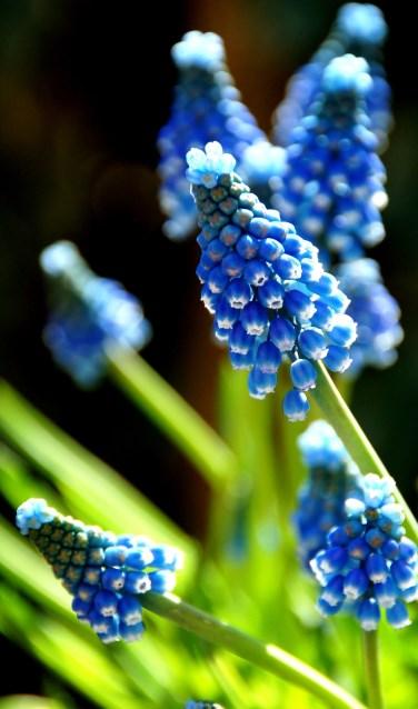 Blauwe druifjes. Foto: PR