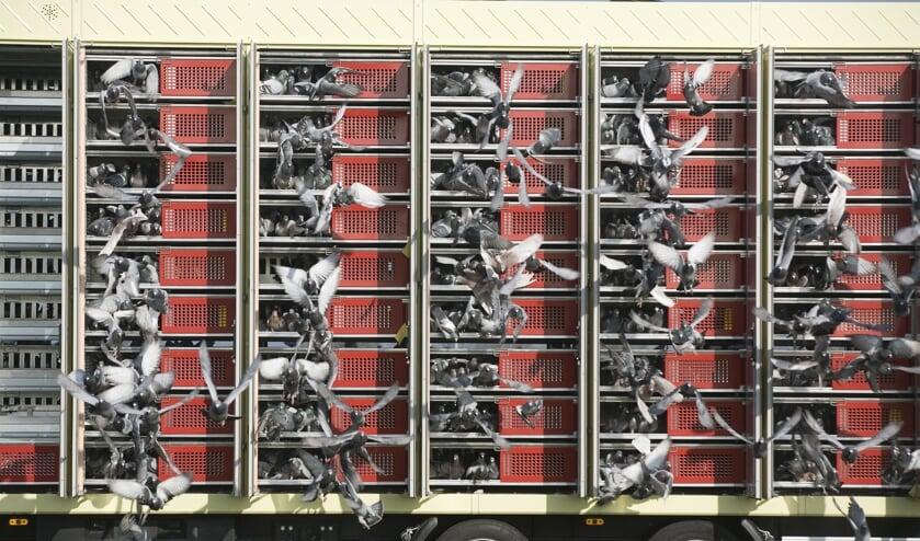 De duiven worden gelost en vliegen terug naar hun hokken en baasjes! Foto: Falco Ebben