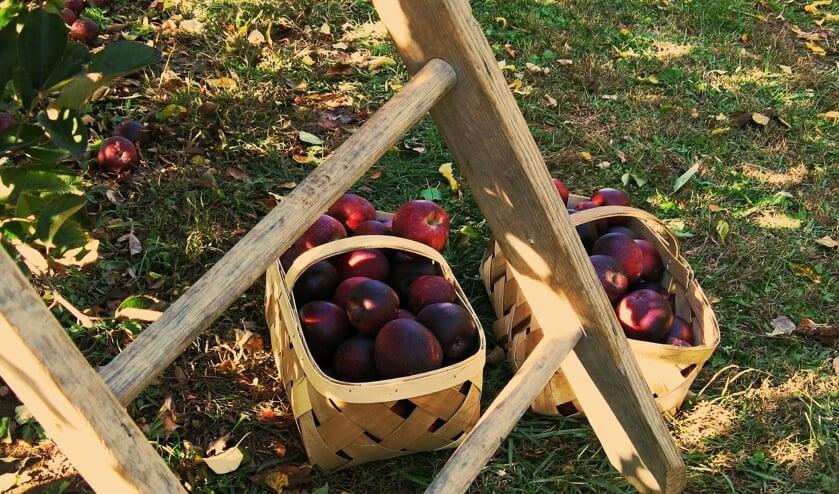 Appeltjesplukdag bij de hoogstamfruitboomgaard in Bronkhorst. Foto: PR