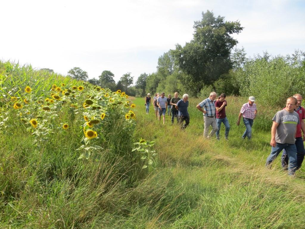Langs het maïs een rand met zonnebloemen. Foto: Bernhard Harfsterkamp  © Achterhoek Nieuws b.v.