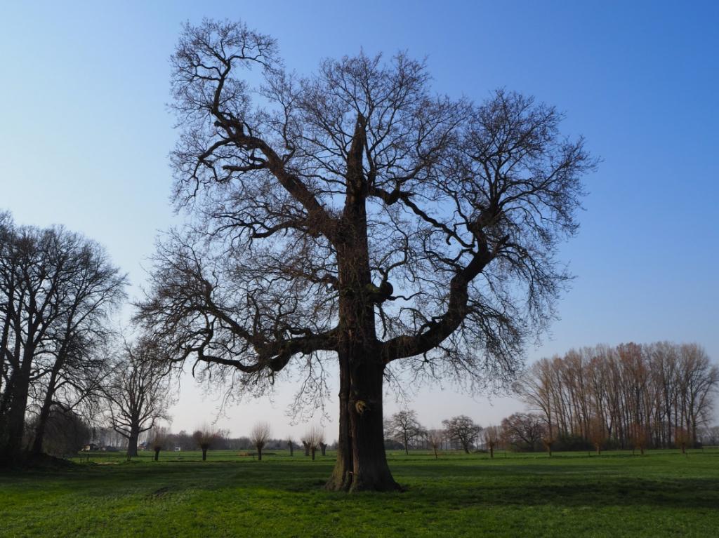 De oudste boom van Baak, de zomereik anno 2020. Foto: Landelijke Bomenstichting/Jeroen Philippona  © Achterhoek Nieuws b.v.