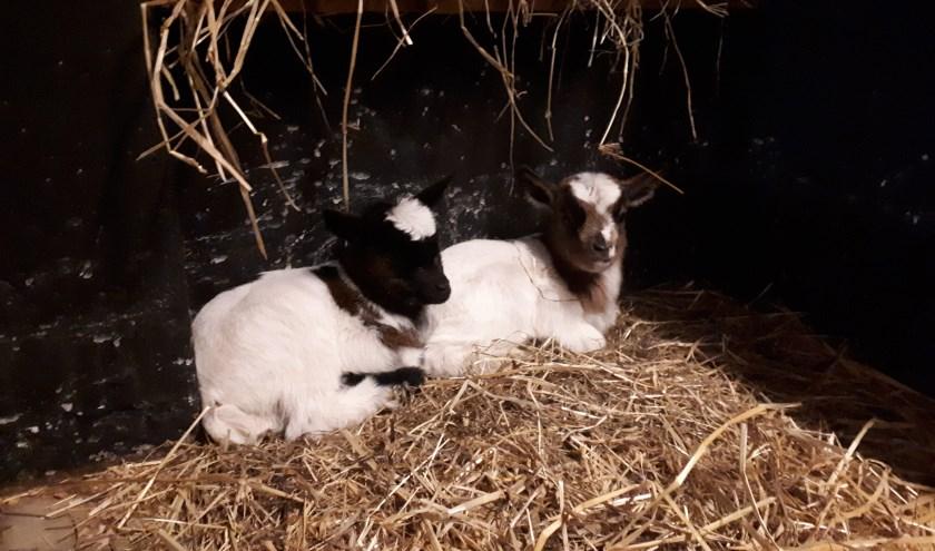 De twee geitjes, die afgelopen week als lentebode werden geboren op kinderboerderij De Ahof. Foto: PR