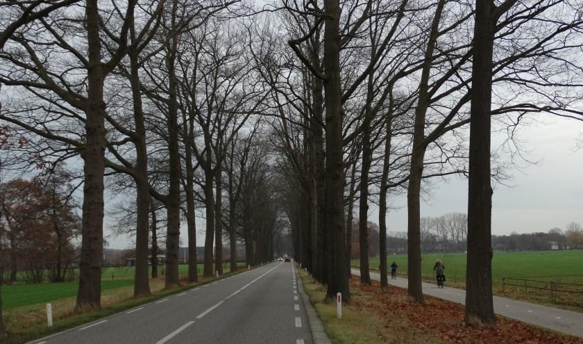 De (Amerikaanse) eiken langs de N330 ten zuiden van Zelhem blijven staan, omdat de toegestane snelheid op dit deel teruggebracht wordt van 80 naar 60 km. Foto: Gerlinde Bulten