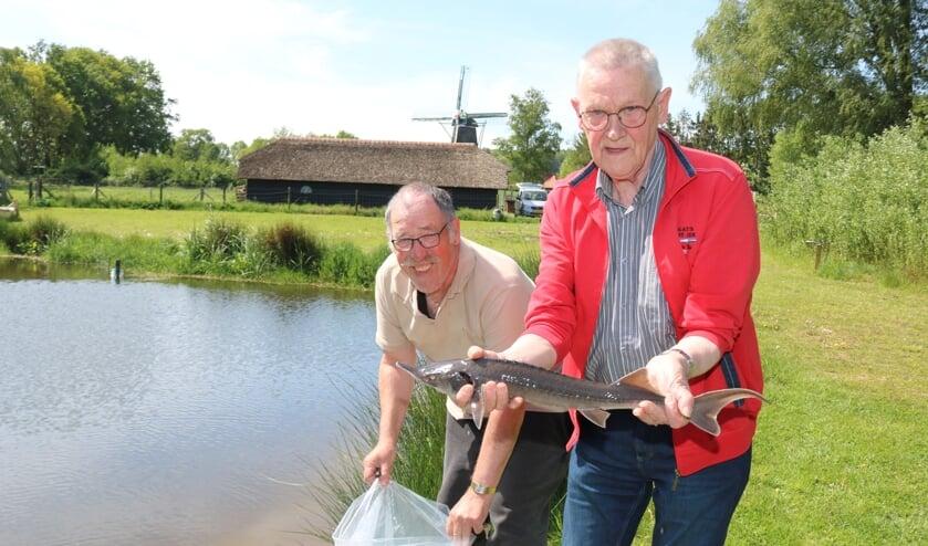 Terwijl Rob Driessen de plastic zak met steuren vast houdt, toont Piet Andriessen een grijze steur. Ook zijn er diamant steuren uitgezet. Foto: Arjen Dieperink