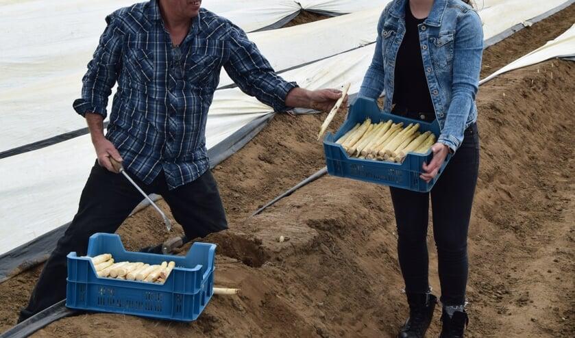 Herman en dochter Maaike Eskes halen de asperges vers van het land in Vierakker. Foto: PR