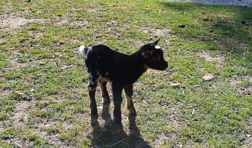 Het kleine geitje dat flesvoedingen krijgt. Foto: Rob Weeber