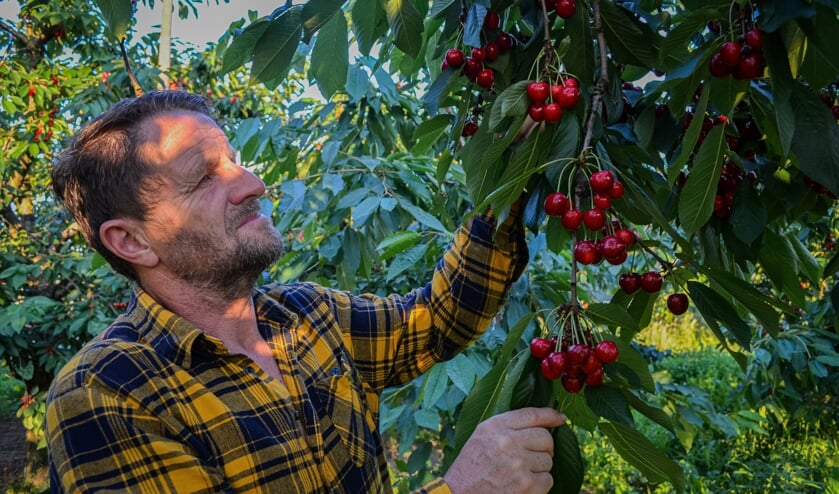 Dick Garritsen plukt kersen in zijn eigen laagstam bongerd. Foto: Iris Garritsen