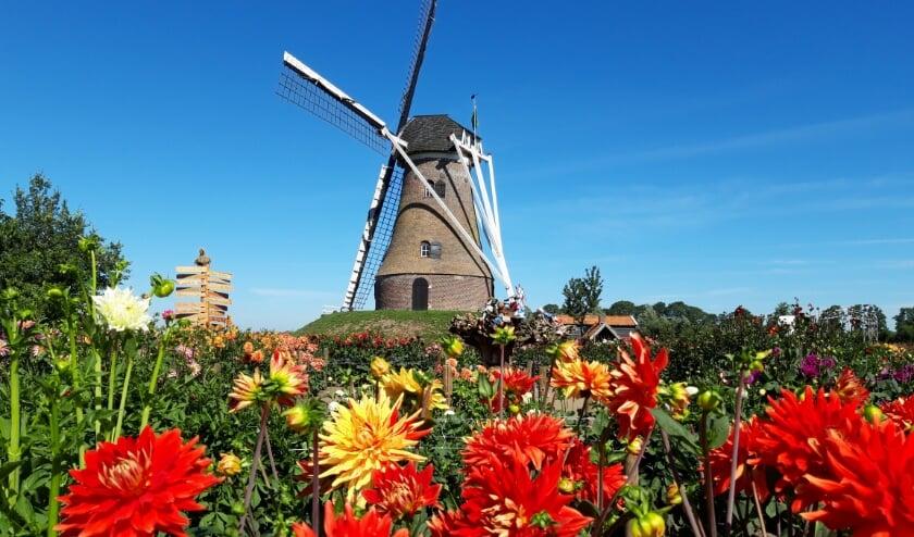 De dahliatuin bij de Piepermolen in Rekken ligt er nog kleurrijk bij. Foto: PR