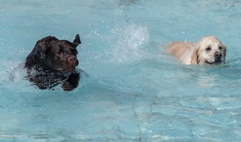 <p>Honden hebben spetterpret in het openluchtzwembad in Hoog-Keppel. Foto: Burry van den Brink</p>