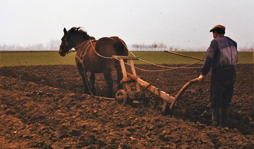 <p>Actiefoto uit de jaren zeventig van Arends vader met zijn trekpaard Corrie. Deze staartploeg is inmiddels een fraai museumstuk. Archieffoto: Arend J. Heideman</p>