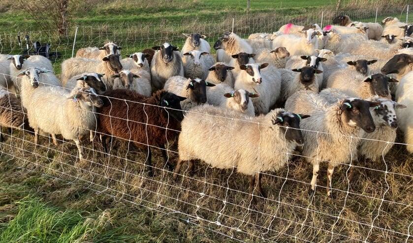 <p>Pas als de schapen hun werk hebben gedaan mogen ze ergens anders naartoe. Foto: De Belhamel</p>