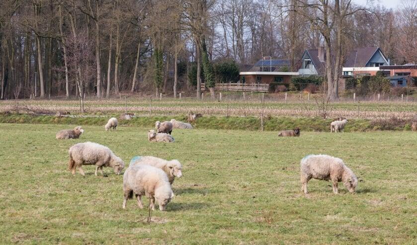 <p>Begrazing door schapen is duurder dan grasmaaien, maar het ziet er wel veel leuker uit. Foto: Henk Derksen</p>