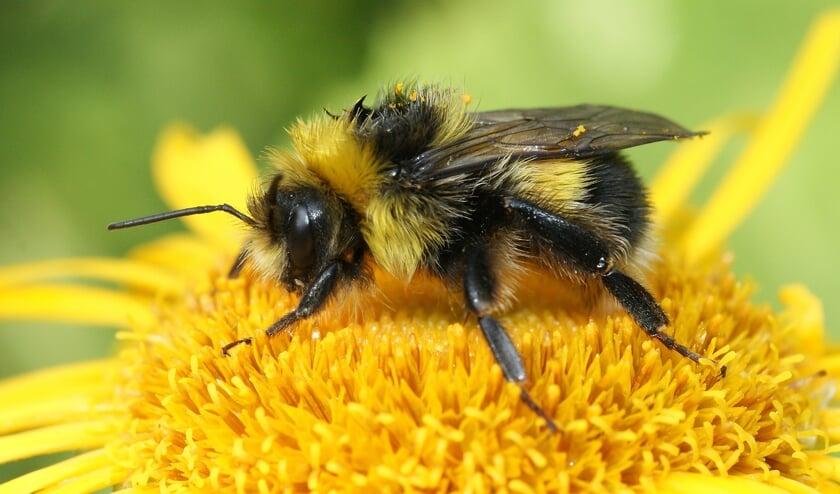 <p>De koekoekshommel is een insect dat behoort tot de familie bijen en hommels. Foto: PR</p>