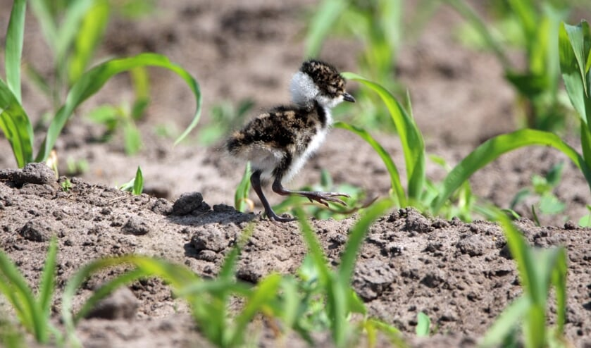 Een jonge kievit tussen de maïs. Foto: Robert Ellenkamp