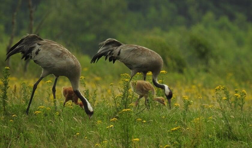 Kraanvogels. Foto: Jantien