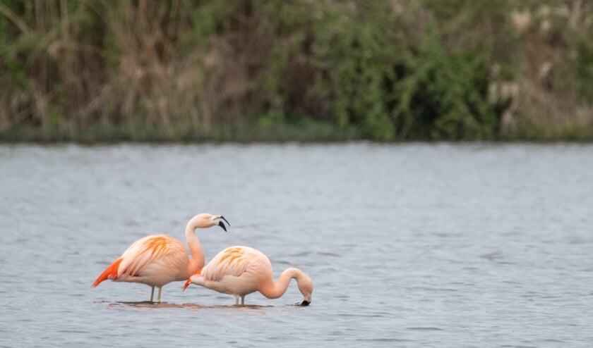 <p>Twee flamingo's in Drempt; met die karakteristieke manier van eten, door het water te filteren met hun grote snavel. Foto: Burry van den Brink</p>