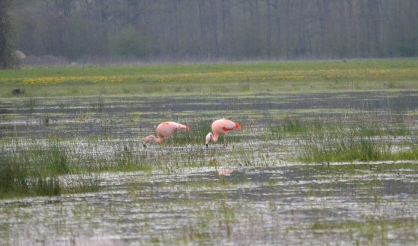 Flamingo's in het Aaltense Goor. Foto: Karin Stronks