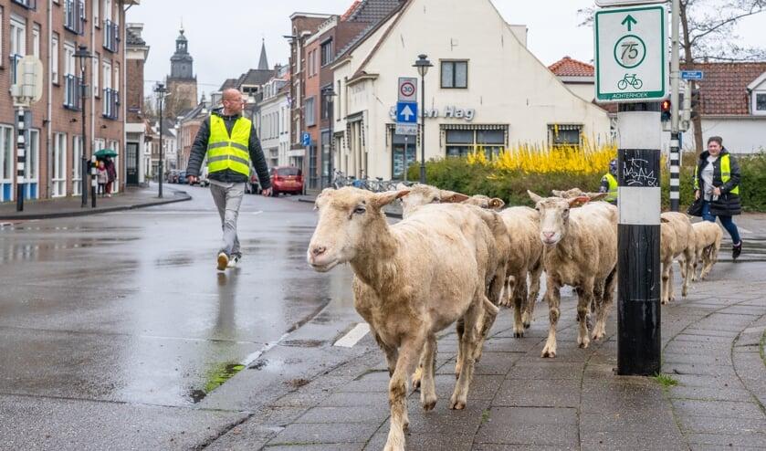<p>De schaapskudde uit Eefde zal op twintig locaties in Zutphen het gras kort houden. Foto: Jolanda van Velzen</p>