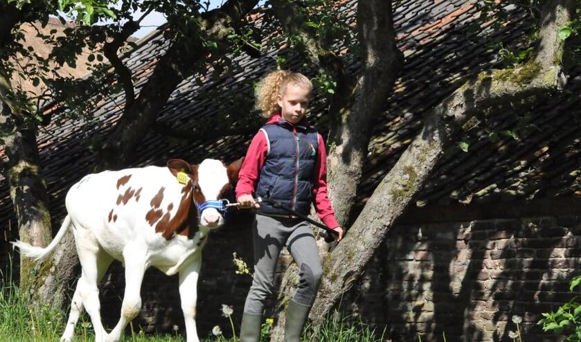 <p>Kinderen van 6 t/m 16 jaar mogen weer met een kalfje aan de slag. Foto: Theo Janssen</p>