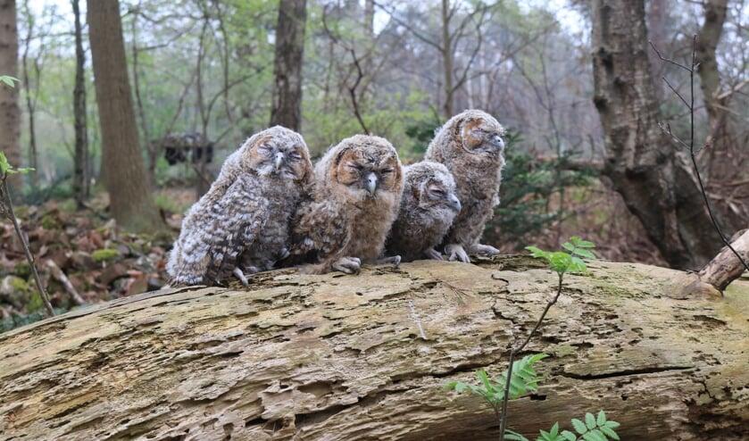 'Vier kleine uiltjes, die zaten op een hek...' Foto: Benno Stortelder