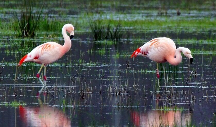 <p>Flamingo`s in het Aaltense Goor. Foto: Herman Vreeman</p>