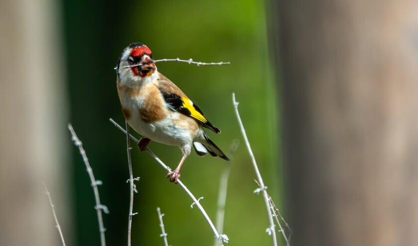 Druk met zoeken van materiaal voor het nest. Foto: Ruud Hilhorst