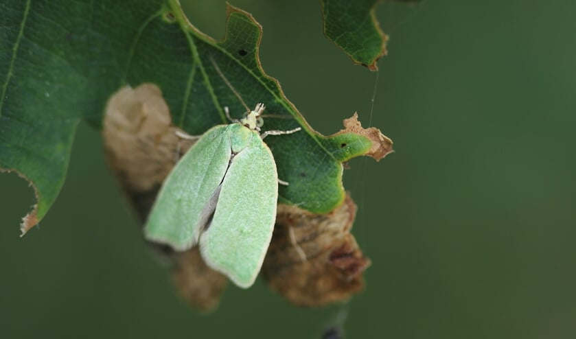 Een groene eikenbladroller. Je ziet de vlindertjes soms in groten getale rond eikenbomen dansen. Foto: Sander Grootendorst