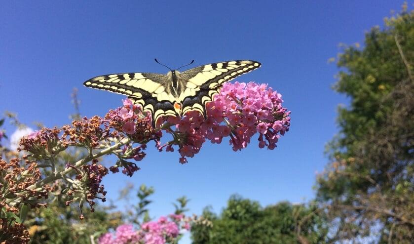 <p>In vlindertuin De Hemelsleutel zijn dit jaar 29 koninginnenpages uitgevlogen. Foto: PR</p>
