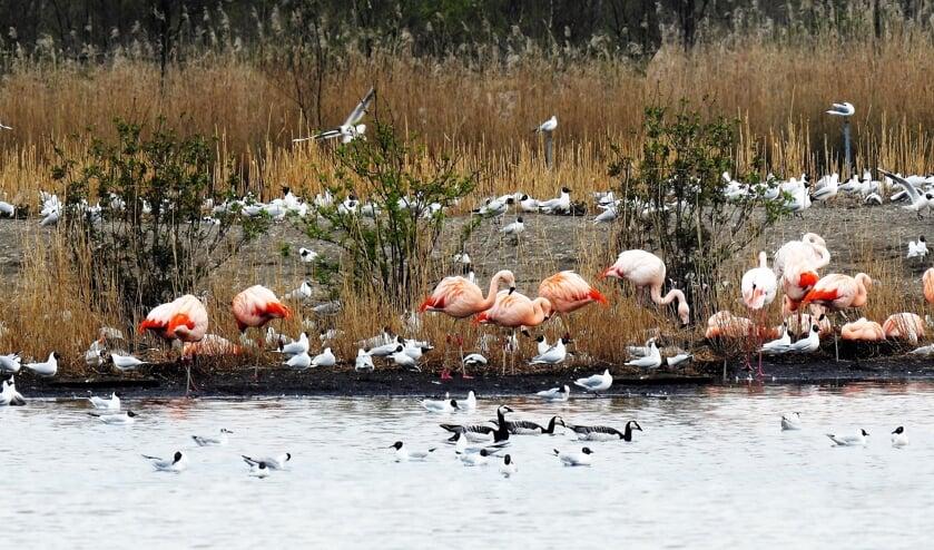 <p>Een foto van de flamingo&rsquo;s in het Zwillbrocker Venn uit de collectie van Jos Korenromp. Foto: PR</p>