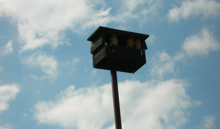 Hier een 'torenvalkkast' met daarin jonge valken die op het punt van uitvliegen staan.