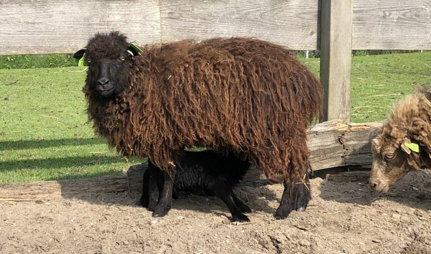 Een ouessantschaap met lam bij het Hertenpark
