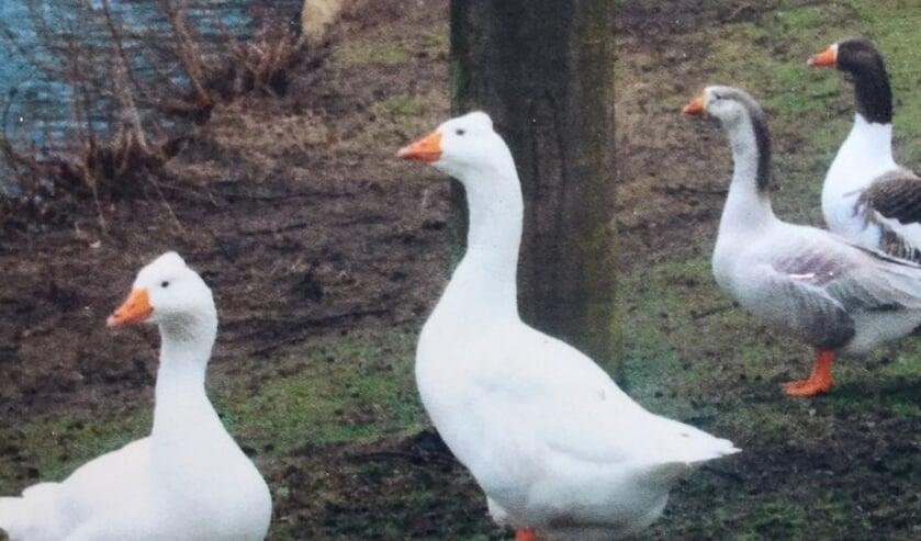 Op deze oude foto ziet u de twee witte ganzen op de voorgrond.